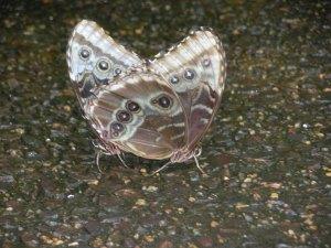 Two butterflies intertwined